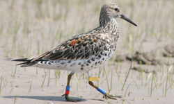 australian great knot research