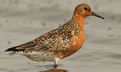 australian shorebird research