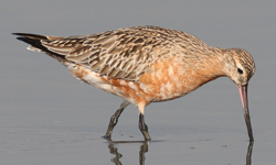 australian bar-tailed godwit research