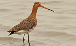 australian black-tailed godwit
