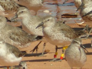 Colour-banded Red Knot